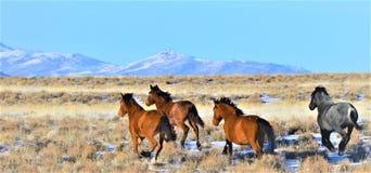 Άγρια άλογα της Νεβάδας Στοκ εικόνα με δικαίωμα ελεύθερης χρήσης
