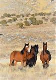 Άγρια άλογα της Νεβάδας Στοκ Εικόνες