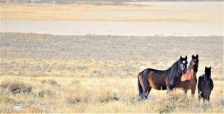 Άγρια άλογα της Νεβάδας Στοκ Εικόνα