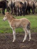 Άγρια άλογα Στοκ φωτογραφίες με δικαίωμα ελεύθερης χρήσης
