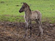 Άγρια άλογα Στοκ φωτογραφία με δικαίωμα ελεύθερης χρήσης