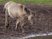 Άγρια άλογα Στοκ Φωτογραφίες