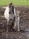 Άγρια άλογα Στοκ Φωτογραφία