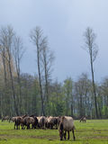 Άγρια άλογα Στοκ Εικόνα