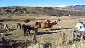 Άγρια άλογα απόθεμα βίντεο