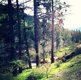 Άγρια άλογα Okanogan Στοκ εικόνα με δικαίωμα ελεύθερης χρήσης