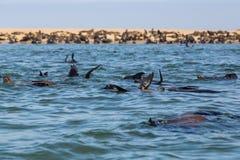 Άγρια έχοντα νώτα otariidae σφραγίδων αποικιών στη Ναμίμπια, νερό, ακτή στοκ φωτογραφίες με δικαίωμα ελεύθερης χρήσης