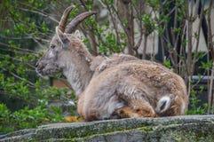 Άγρια αίγα στο ζωολογικό κήπο Άμστερνταμ Artis οι Κάτω Χώρες Στοκ Εικόνες