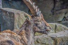 Άγρια αίγα στο ζωολογικό κήπο Άμστερνταμ Artis οι Κάτω Χώρες Στοκ φωτογραφίες με δικαίωμα ελεύθερης χρήσης
