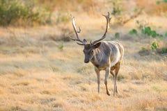Άγρια αγρανάπαυση Buck Στοκ φωτογραφίες με δικαίωμα ελεύθερης χρήσης