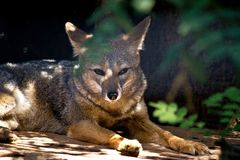 Άγρια αλεπού στο ζωολογικό κήπο στοκ εικόνες