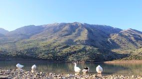 Άγρια ανάπαυση χήνων στη μικρή φυσική λίμνη με τη θέα βουνού στοκ φωτογραφίες με δικαίωμα ελεύθερης χρήσης