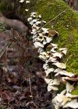 Άγρια ανάπτυξη μυκήτων μανιταριών στο δέντρο με το βρύο Στοκ Εικόνα