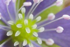 Άγρια δασική κινηματογράφηση σε πρώτο πλάνο Hepatica λουλουδιών Στοκ Εικόνα