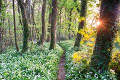 Άγρια δασώδης περιοχή σκόρδου στοκ εικόνα με δικαίωμα ελεύθερης χρήσης