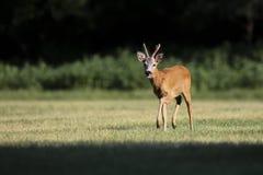 Άγρια αυγοτάραχα deer&#x28 male&#x29  περίπατος σε έναν τομέα χλόης Στοκ Εικόνες