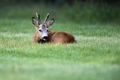 Άγρια αυγοτάραχα deer&#x28 male&#x29  στάση σε έναν τομέα χλόης Στοκ Εικόνα