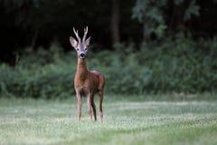 Άγρια αυγοτάραχα deer& x28 male& x29  στάση σε έναν τομέα χλόης Στοκ Εικόνες