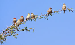 Άγρια αφρικανικά πουλιά Στοκ Φωτογραφία