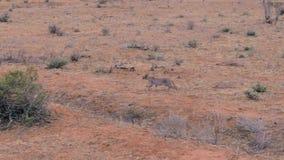 Άγρια αφρικανικά τρεξίματα Caracal γατών μέσω της ερήμου με το κόκκινο έδαφος σε Samburu φιλμ μικρού μήκους