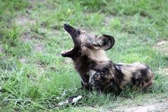 Άγρια αφρικανικά χασμουρητά σκυλιών Σκυλί Γένοβας στο κρεβάτι Στοκ εικόνες με δικαίωμα ελεύθερης χρήσης