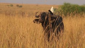Άγρια αφρικανικά Buffalo φιλμ μικρού μήκους