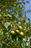 Άγρια αχλάδια Στοκ Εικόνα