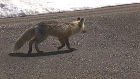 Άγρια αλεπού που περπατά κάτω από το βρώμικο δρόμο απόθεμα βίντεο