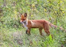 Άγρια αλεπού σε ένα δασικό ξέφωτο Στοκ Εικόνες