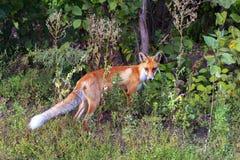 Άγρια αλεπού σε ένα δασικό ξέφωτο Στοκ φωτογραφία με δικαίωμα ελεύθερης χρήσης