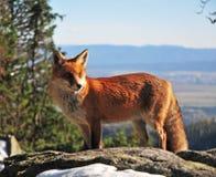 Άγρια αλεπού στα βουνά Tatra Στοκ Φωτογραφίες