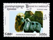 Άγρια βακτριανή καμήλα (ferus Camelus), άγρια ζώα serie, circa 1 Στοκ Φωτογραφία