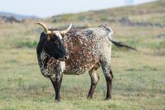 Άγρια βοοειδή longhorn στην Οκλαχόμα Στοκ Εικόνες