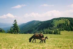 Άγρια βοσκή αλόγων στα θερινά βουνά στοκ φωτογραφία