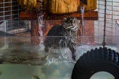 Άγρια γάτα αλιείας σε μια δεξαμενή νερού σε ένα άδυτο Στοκ φωτογραφίες με δικαίωμα ελεύθερης χρήσης