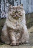 Άγρια γάτα με τα πράσινα μάτια Στοκ Φωτογραφίες