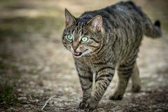 Άγρια γάτα με το ανοικτό στόμα που περπατά σε μια πορεία Στοκ Φωτογραφίες