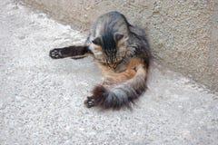 Άγρια γάτα που καλλωπίζει το τιγρέ χρώμα Στοκ Εικόνα