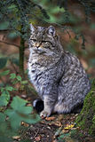 Άγρια γάτα στη φύση Στοκ εικόνα με δικαίωμα ελεύθερης χρήσης