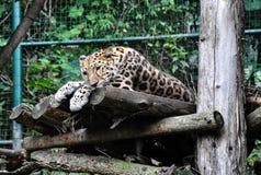 Άγρια γάτα στο ζωολογικό κήπο της Πράγας, Δημοκρατία της Τσεχίας Στοκ εικόνα με δικαίωμα ελεύθερης χρήσης
