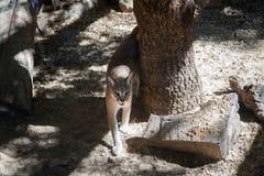 Άγρια γάτα στο ζωολογικό κήπο της Χάιφα Στοκ φωτογραφία με δικαίωμα ελεύθερης χρήσης