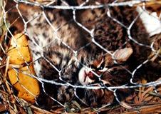 Άγρια γάτα στο κλουβί στοκ εικόνες με δικαίωμα ελεύθερης χρήσης