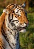 Άγρια γάτα τιγρών Στοκ εικόνες με δικαίωμα ελεύθερης χρήσης