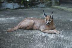 Άγρια γάτα λυγξ στην Αφρική Στοκ Φωτογραφία