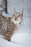 Άγρια γάτα λυγξ στοκ εικόνα με δικαίωμα ελεύθερης χρήσης