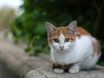 Άγρια γάτα Στοκ Φωτογραφίες