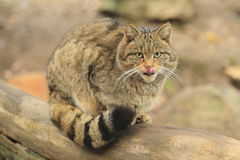 Άγρια γάτα Στοκ φωτογραφία με δικαίωμα ελεύθερης χρήσης