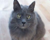 Άγρια γάτα Kuril Bobtail Στοκ Εικόνες