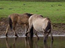 Άγρια γερμανικά άλογα Στοκ φωτογραφία με δικαίωμα ελεύθερης χρήσης