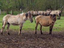 Άγρια γερμανικά άλογα Στοκ εικόνες με δικαίωμα ελεύθερης χρήσης
